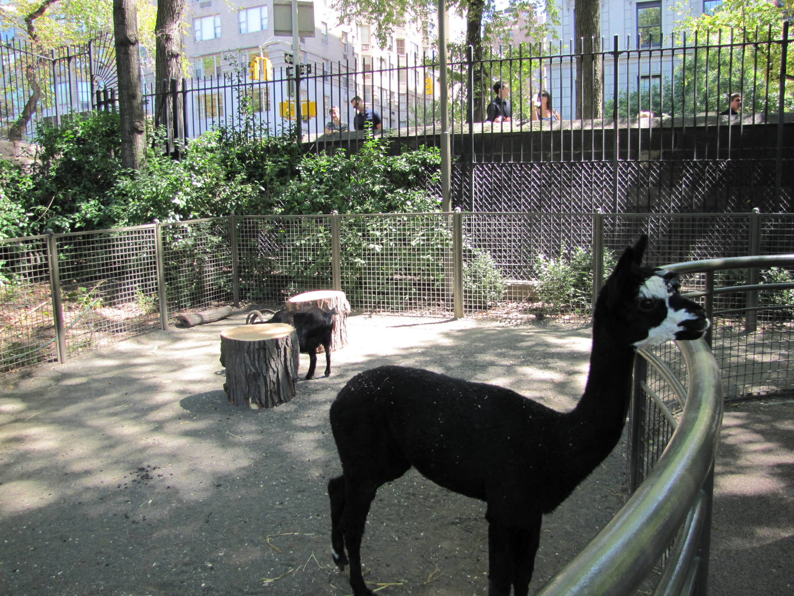 Central Park Zoo 2010  Llama and goat in Tisch Childrens