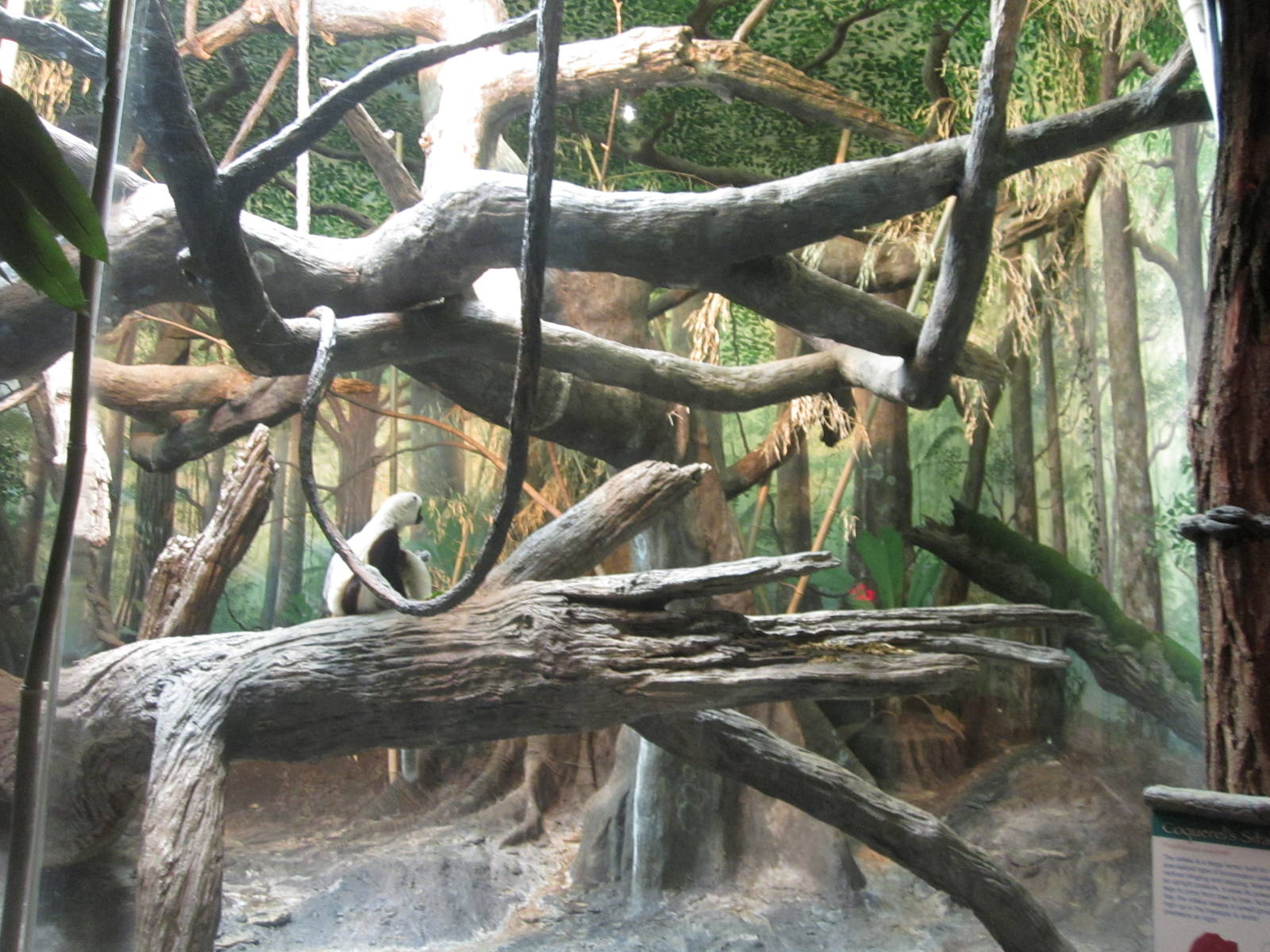 Bronx Zoo Corquels Sifaka Exhibit Zoochat - Year of Clean Water