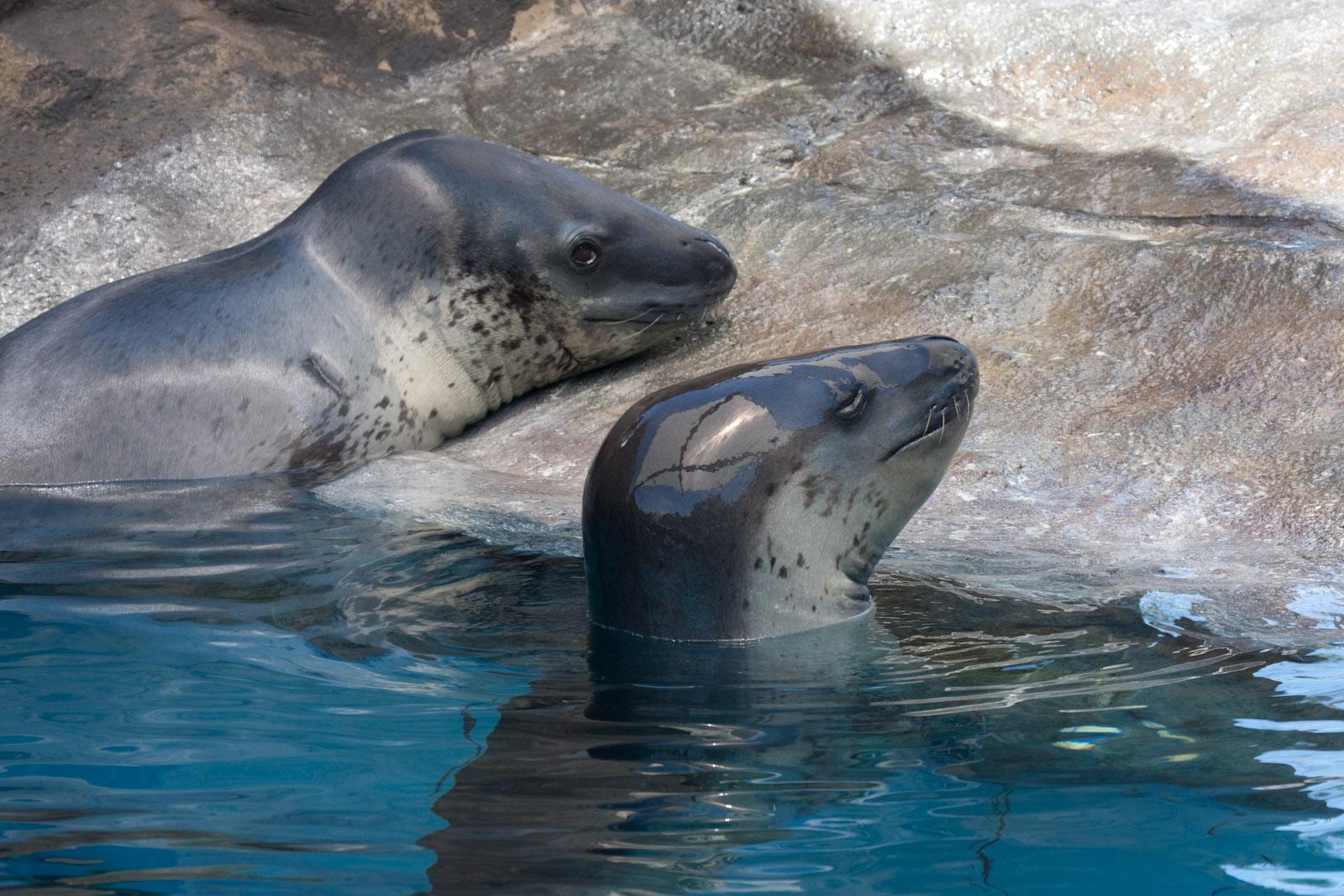 Leopard Seal Taronga Zoo - Year of Clean Water
