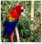 Papagali – Ara stacojiu