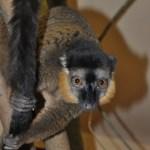 Lemurul cu guler colorat (Eulemur collaris)