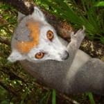 Lemurul cu coroană (Eulemur coronatus)