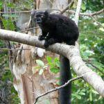 Lemurul negru (Eulemur macaco)