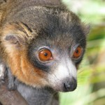 Lemurul mangustă (Eulemur mongoz)