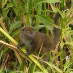 Lemurul Alaotran de bambus (bandro - Hapalemur alaotrensis)
