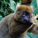 Marele lemur de bambus (Prolemur simus)