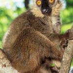 Lemurul maroniu Sanford (Eulemur sanfordi)