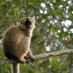 Lemurul maroniu comun (Eulemur fulvus)