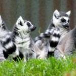 Lemur cu coada inelara alb-negru grup (Lemur catta)