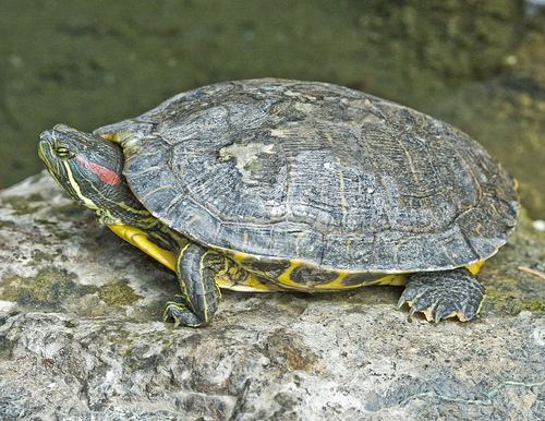 red_eared_slider