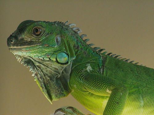 green_iguana