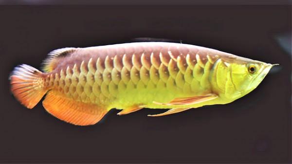 種類 アジア アロワナ