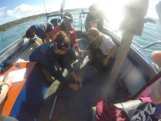 Acoustic tagging a smooth hound shark