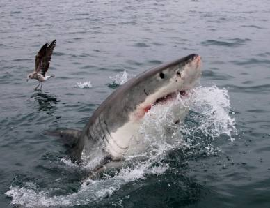 White shark breaching