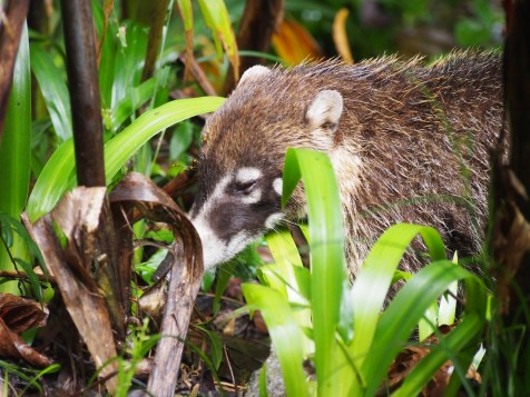 White-faced coati