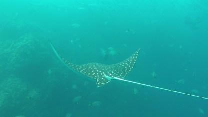 Eagle ray