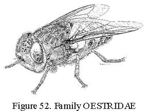 Diptera Family Descriptions