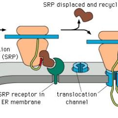 Endomembrane System Diagram Rv 50 Amp Wiring 30 Plug Distribution Panel Camper Power Lecture 27 Protein Targeting- Endoplasmic Reticuluum