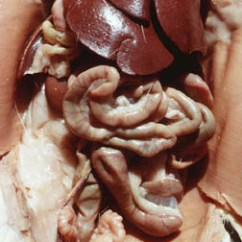 Rat Digestive System Diagram Quiz Qwerty Keyboard Worksheet Dogfish Internal Anatomy Tract Abdomen Male Close Up View