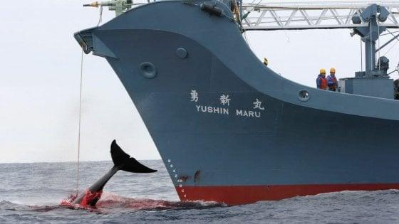 Il Giappone continua e difende la caccia alle balene