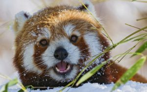 Red Panda saying hello