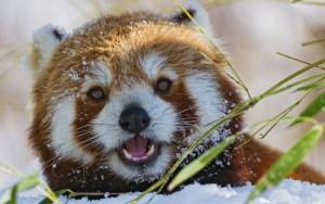 Red Panda saying hello