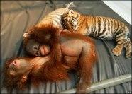 scimmiette-tigrotto