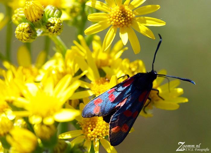 st.jansvlinder.1.1000