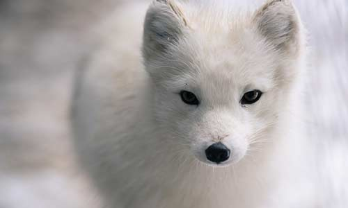 Cute Small Animals Wallpapers Arctic Fox Stone Zoo