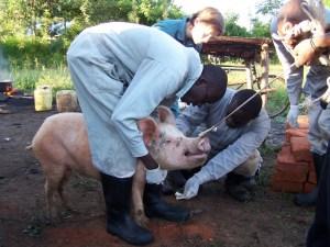 Pig sampling