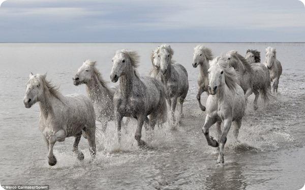 Знаменитые лошади Камарга