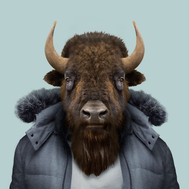 ethan the american bison