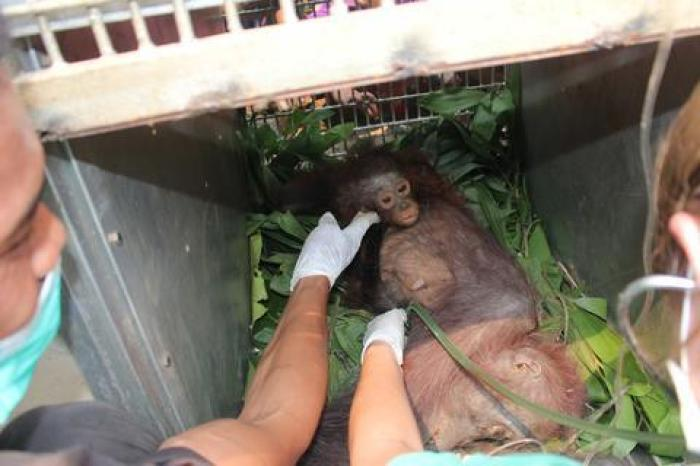 rescate-orangutanes-victimas-de-incendio-forestal-indonesia2