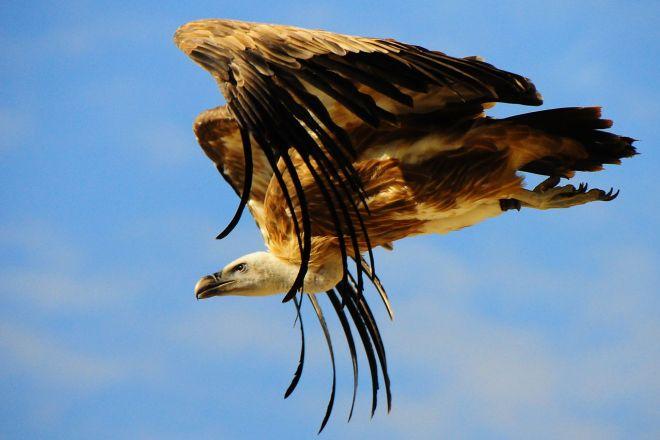 O abutre-fouveiro e seu voo magnífico no ZooParc de Beauval | Foto: Wikimedia