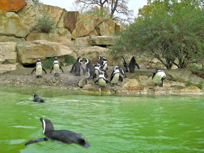 Pinguins se refrescam no zoológico de Berlim | Foto: Wikimedia