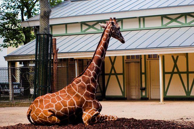 O descanço da girafa, no zoológico de Amsterdã | Foto: Fabien Dany (fabiendany.com)
