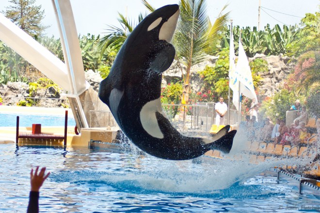Orca do Loroparc |Foto: Justin Fletcher/Flickr