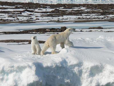 Η εκμετάλλευση των κοιτασμάτων της Αρκτικής απειλεί τις πολικές αρκούδες