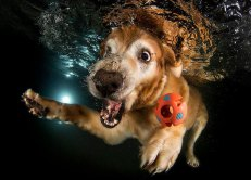 underwater-photos-of-dogs-fetching-their-balls-by-seth-casteel-4