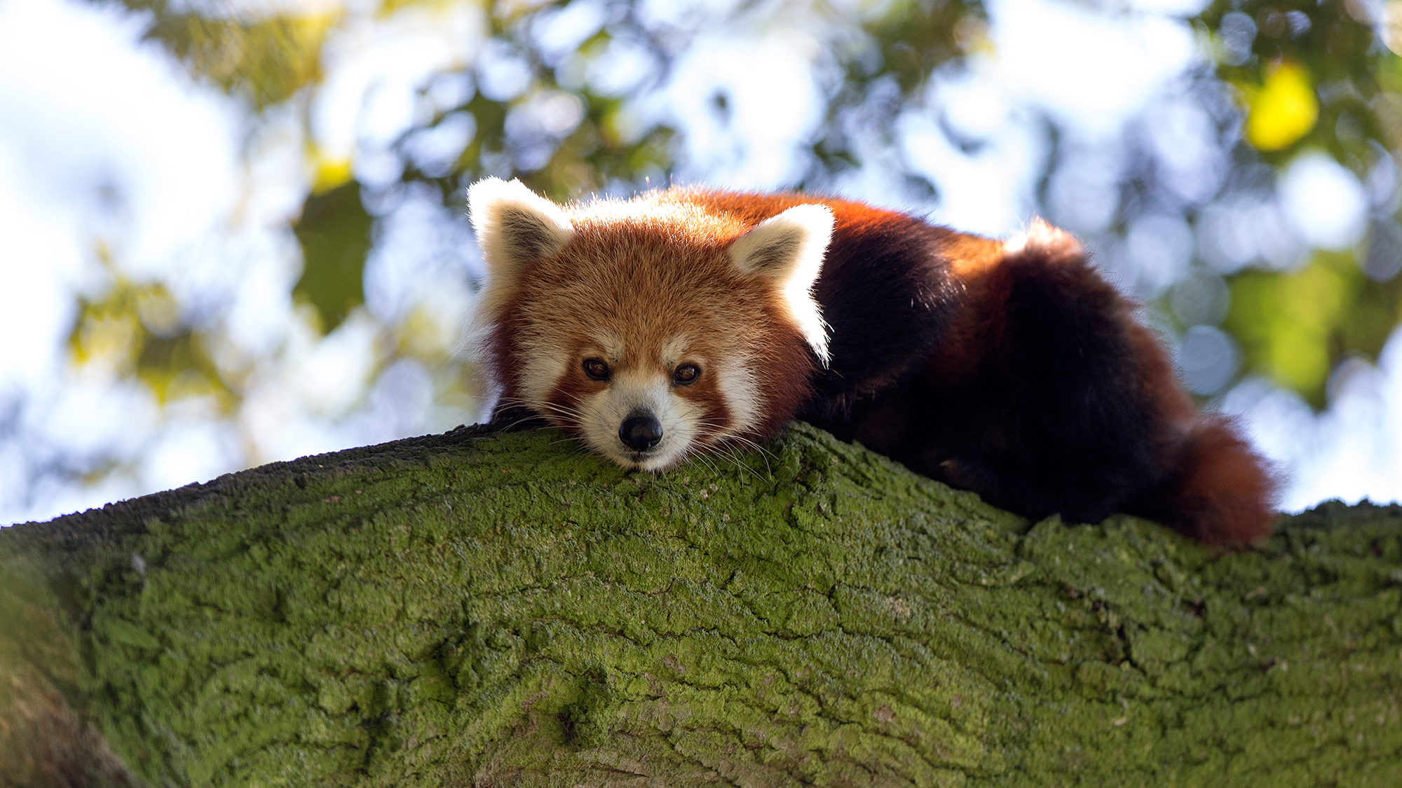 Cute Baby Wallpaper Hd Free Download Red Panda 2 Jpg