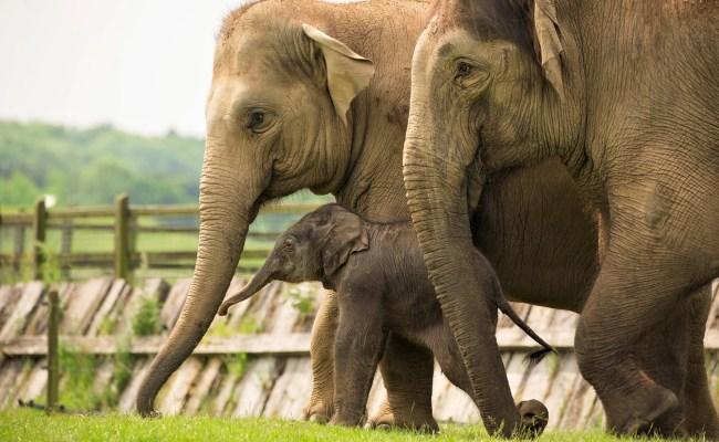 Elephants Zoological Society Of London Zsl