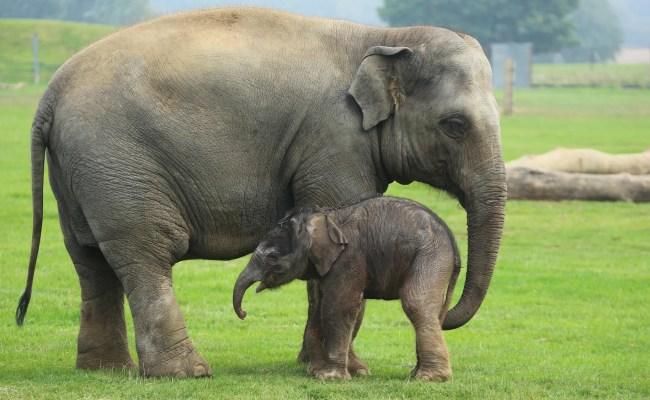 Asian Elephant Zoological Society Of London Zsl