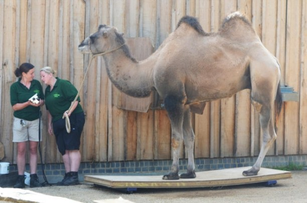 Camel Weight-in