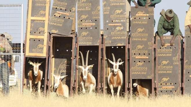 Kromsabelbukke wordt oetzat in Tsjaad. (foto: zsl.org)