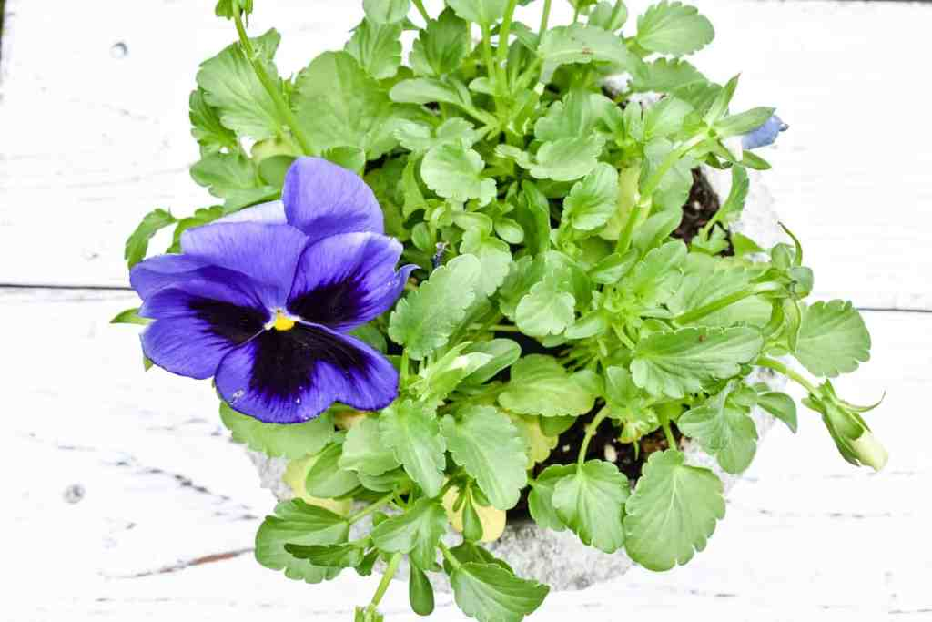 concrete bowl planter filled with purple pansies
