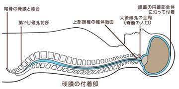 硬膜の付着部