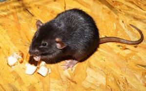 pest-rat