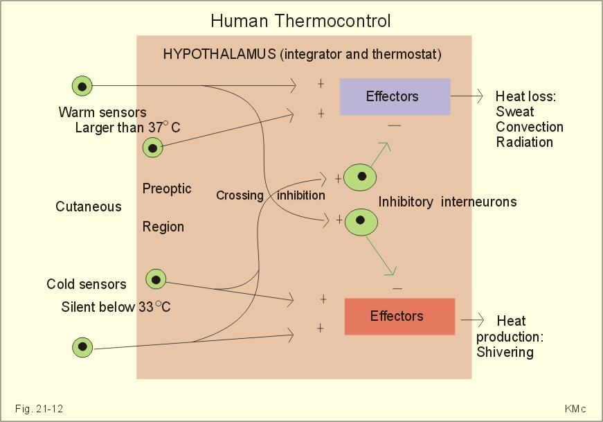 New Human Physiology Ch 21