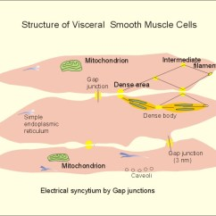 Human Muscle Cell Diagram Gm Trailer Plug Wiring New Physiology Ch 2 11