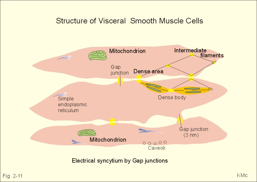 human muscle cell diagram labeled 2 lights one switch wiring uk new physiology ch 11